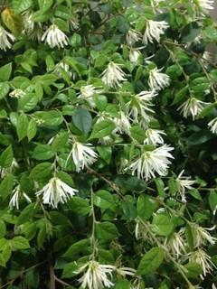 東京 街路樹 白の花