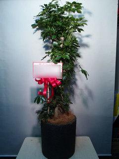 観葉植物 移転御祝 渋谷区神宮前