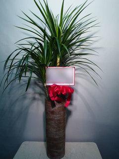 観葉植物 設立御祝 ドラセナ・カンボジアーナ