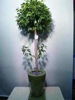 観葉植物 ベンジャミン