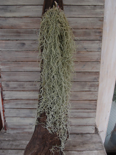 スパニッシュモス(スペイン髭、ヒナヒナ) 80cm