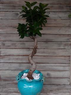 観葉植物 ガジュマルの木
